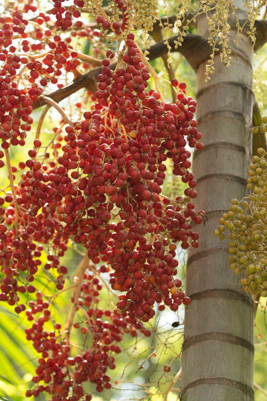 growth, tree, outdoors, fruit, plant, day, low angle view, food and drink, no people, red, hanging, nature, food, tree trunk, building exterior, beauty in nature, flower, close-up, freshness