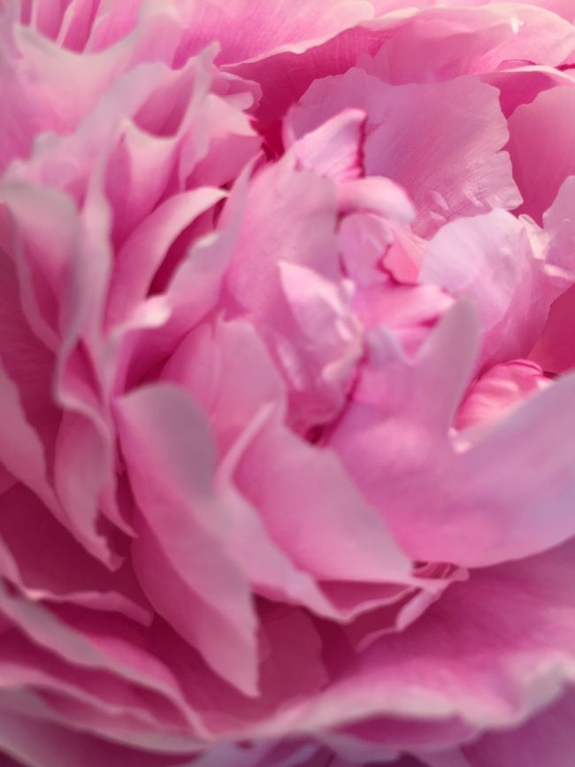 Peony  Flower Floral Nature Pink Bloom Still Life Macro Backgrounds