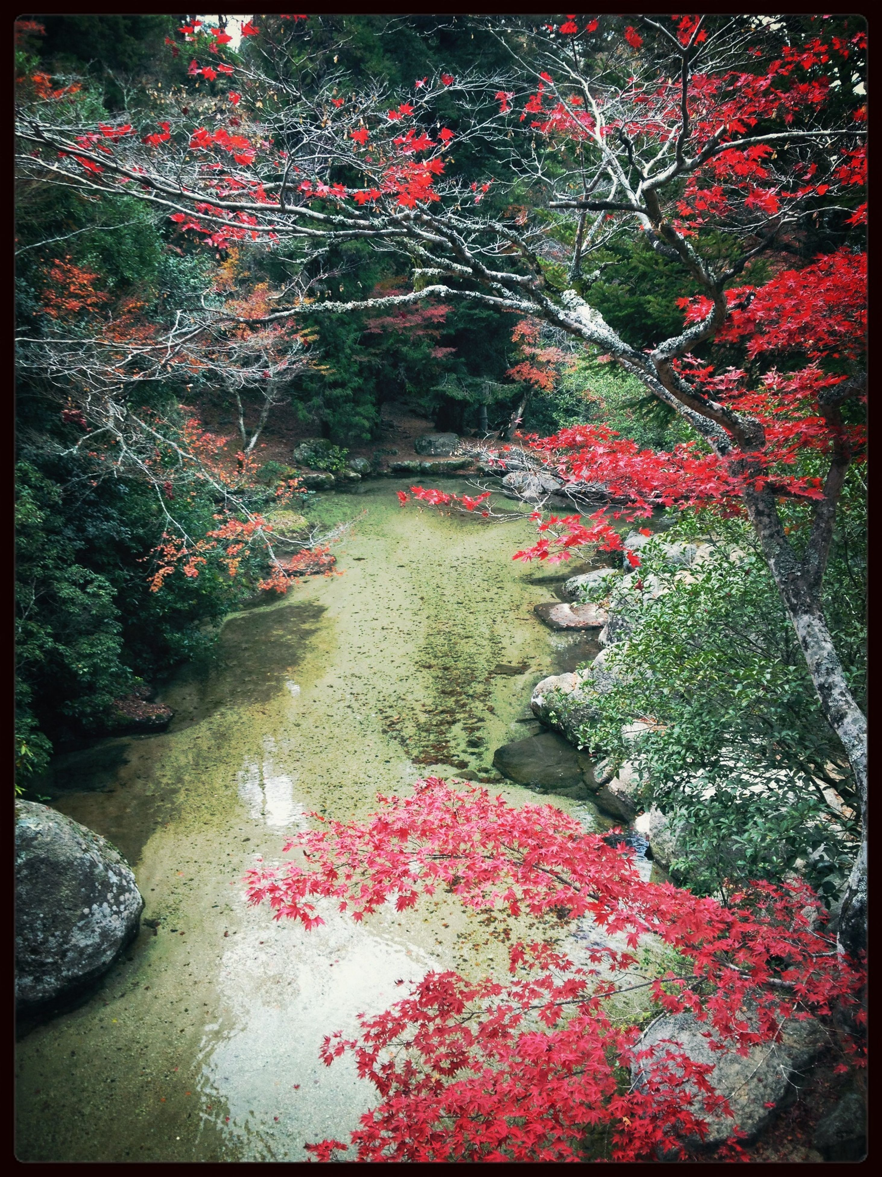 transfer print, water, tree, auto post production filter, flower, red, growth, plant, nature, beauty in nature, tranquility, branch, day, freshness, outdoors, autumn, season, reflection, leaf, park - man made space