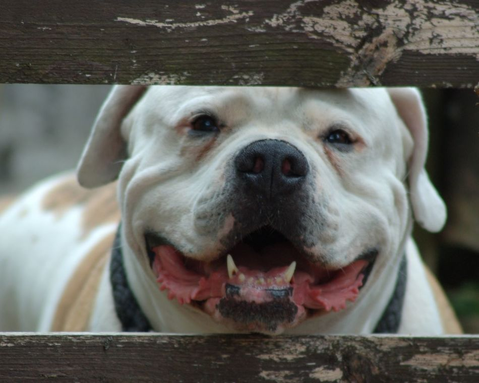 Beautiful stock photos of american bulldog, American Bulldog, Animal Themes, Animal Wildlife, Animals In The Wild