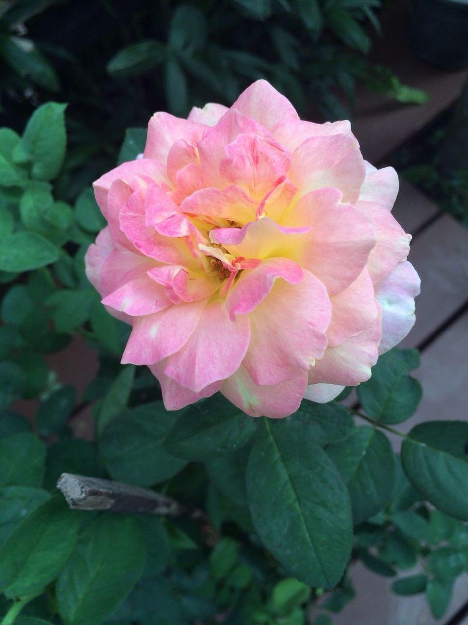 Roses Flower Natural Valentine's Day