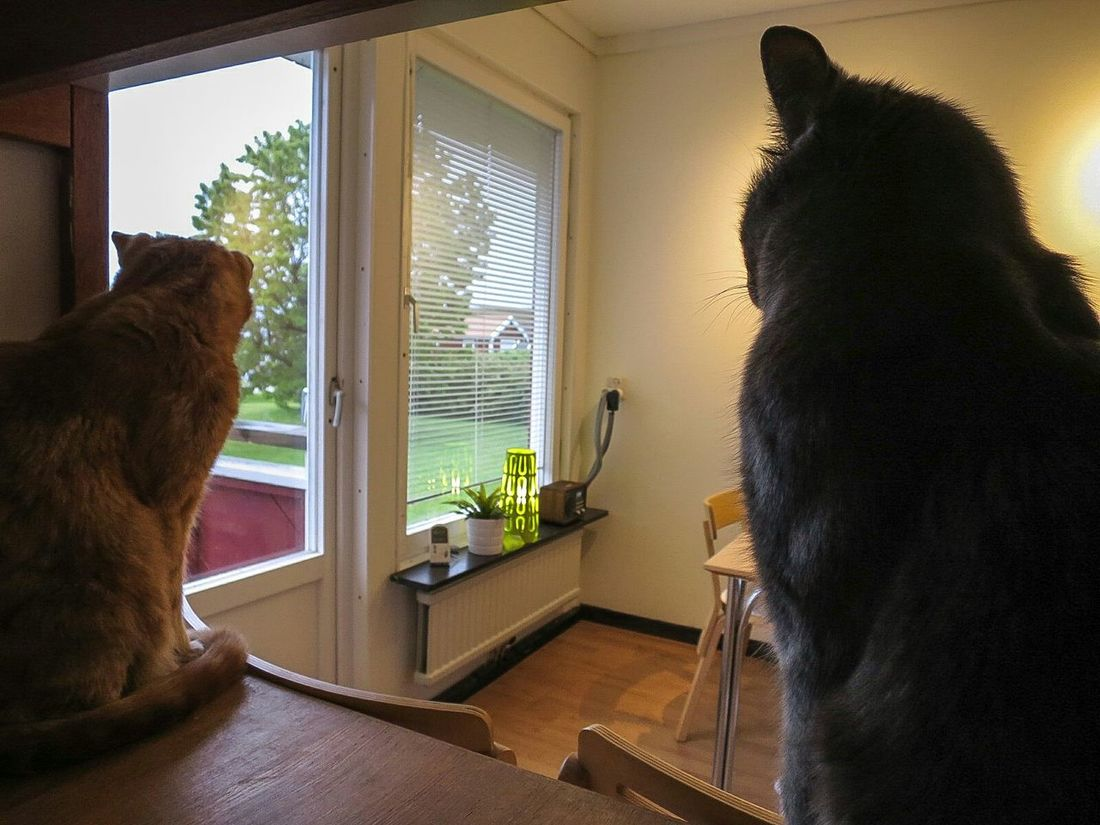 My Darling Cat Sven and Alexis In My Kitchen Enjoying The View Pets Pet Photography