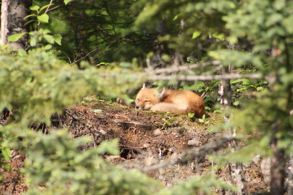 Beautiful stock photos of fuchs, Calm, Canada, Saguenay, animal
