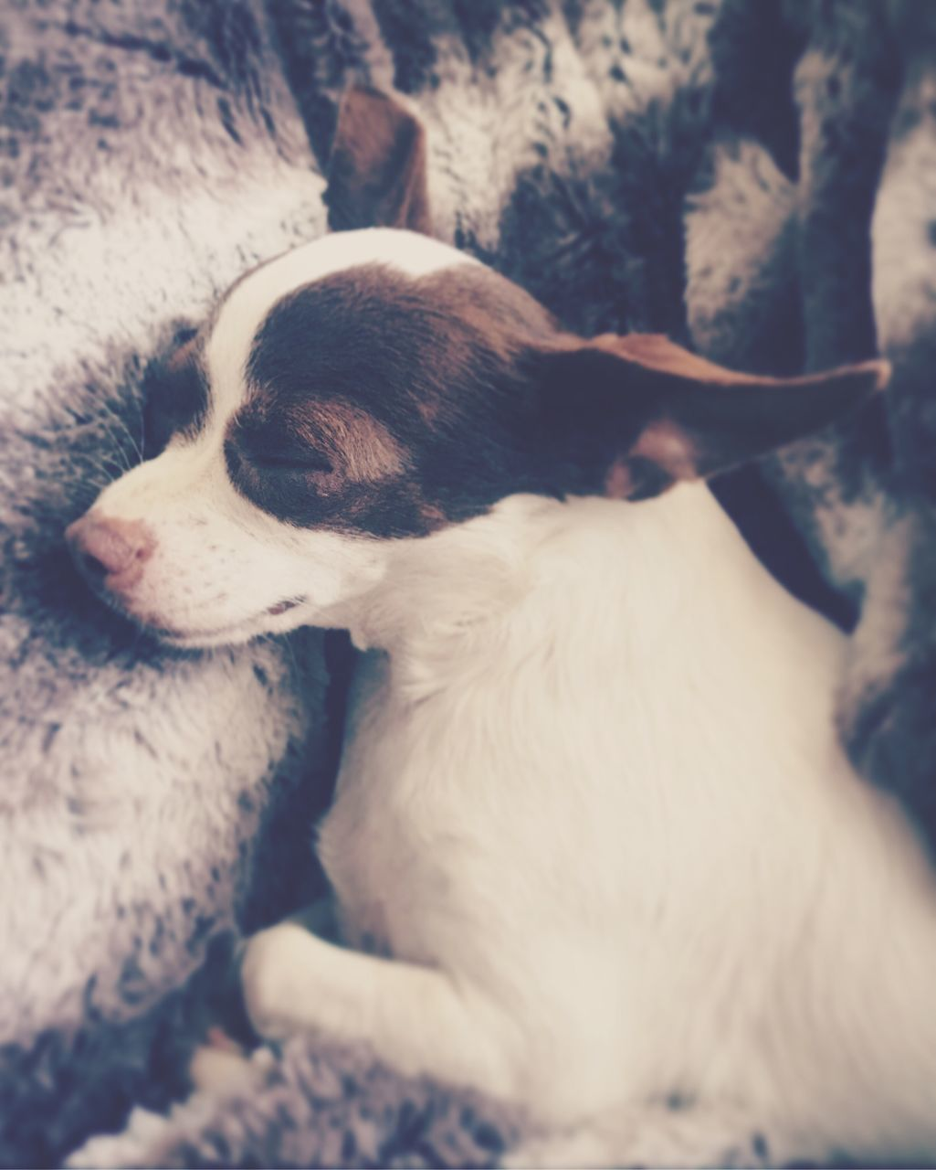 dog, pets, domestic animals, one animal, animal themes, mammal, indoors, relaxation, no people, close-up, day, portrait