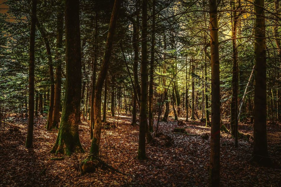 Around the trees ☀️🌲 Forest Tree Nature Spring Wild Tranquil Scene WoodLand No People Sun Calm Tranquility Explore Trees Beautiful Colors Outdoors Outdoor Photography Livefolk Outdoors Life