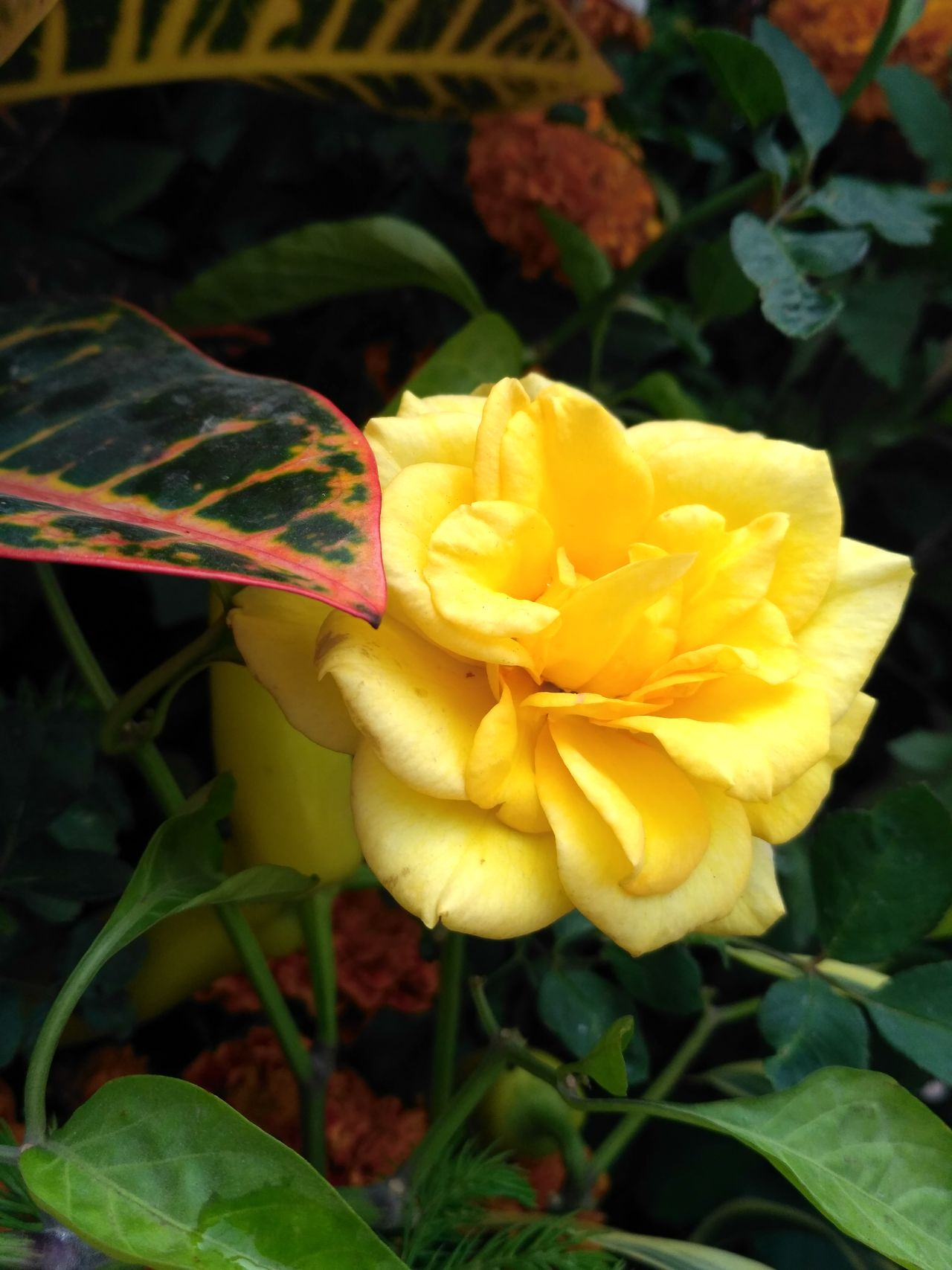 Yellow rose from my home garden...