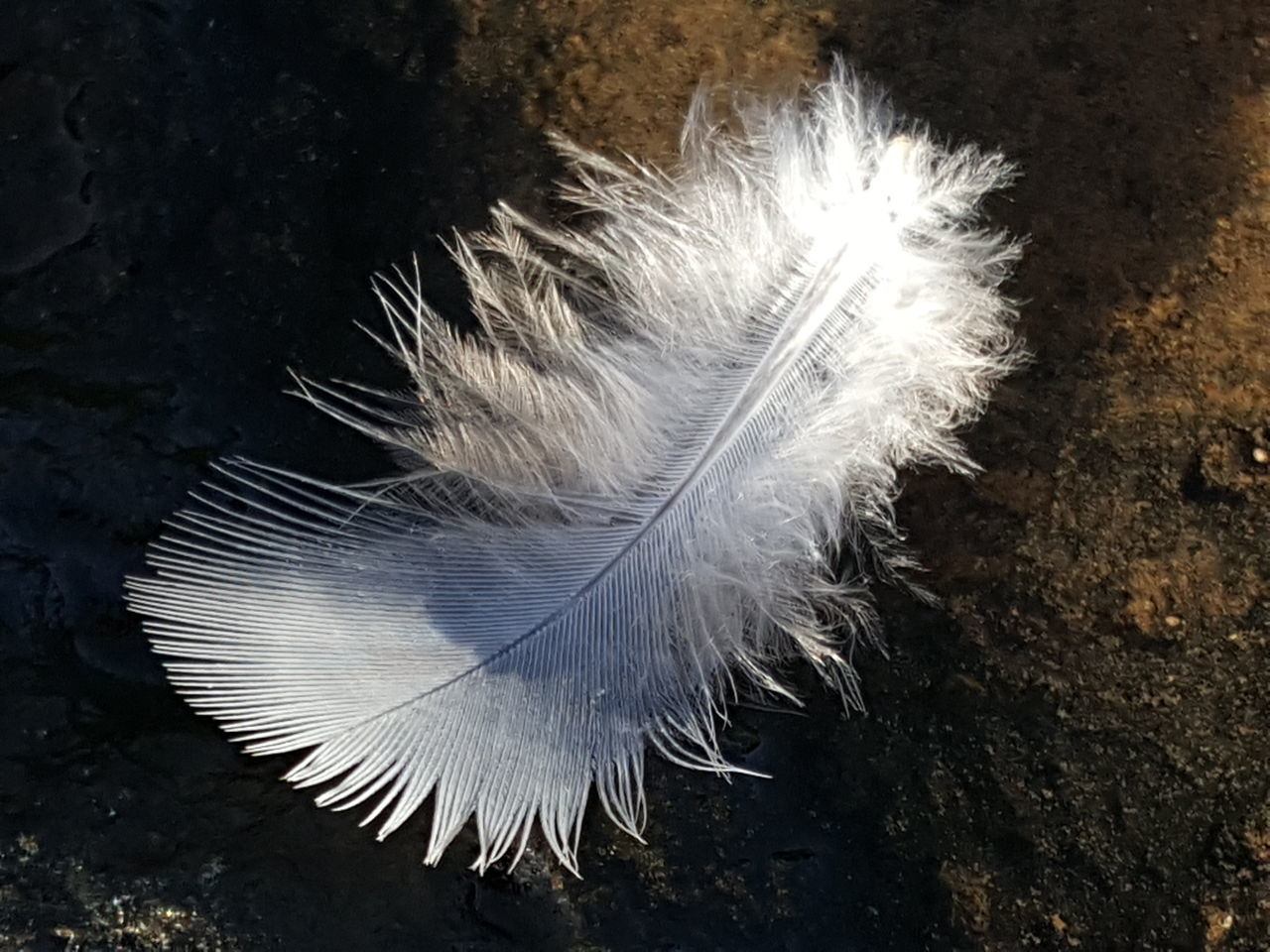 feather, peacock, peacock feather, softness, white color, one animal, fragility, close-up, animal themes, bird, no people, lightweight, nature, day, fanned out, beauty in nature, animals in the wild, outdoors
