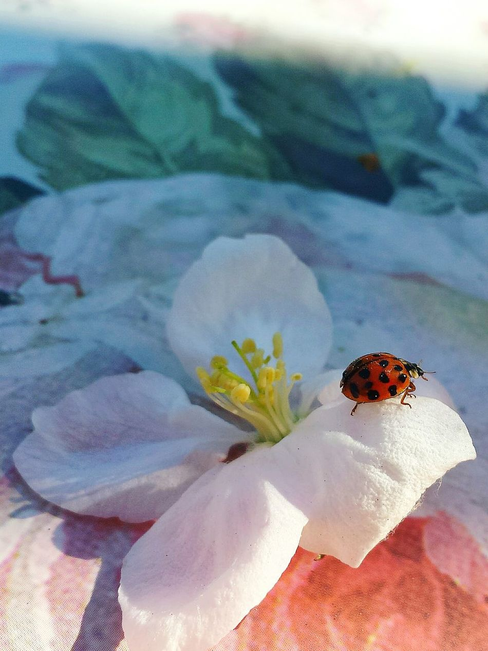 Light And Shadow Mirroring On A Blossom Ladybug Ladybird Macro Ladybird With Polls Considered As Lucky Charm Apple Blossom Macro Apple Blossom Macro Ladybug With Polls Apple Blossom On Painted Blossom Still Life Stillleben Painted Background Blűtenstempel Ladyphotographerofthemonth Showcase: May Beautiful Scenery Beliebte Fotos Glückskäfer Nature's Diversities
