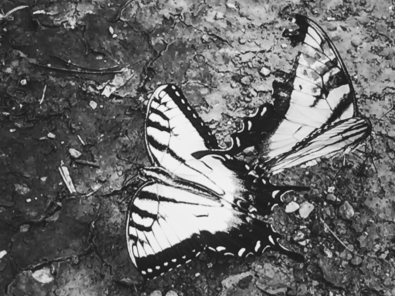 Butterfly EyeEm Nature Lover Blackandwhite IPhoneography Lines Capturing Freedom Nature Simplicity Black & White Shades Of Grey