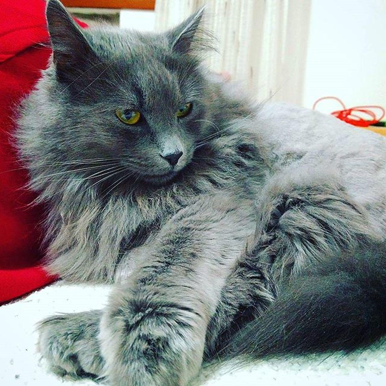Sheldon Cat Instacat Catsofinstagram Nebelung Nebelungsofinstagram