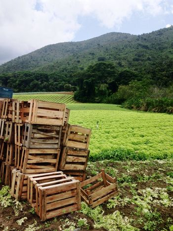 Teresopolis Plantação Alface Verde Green Do Pé