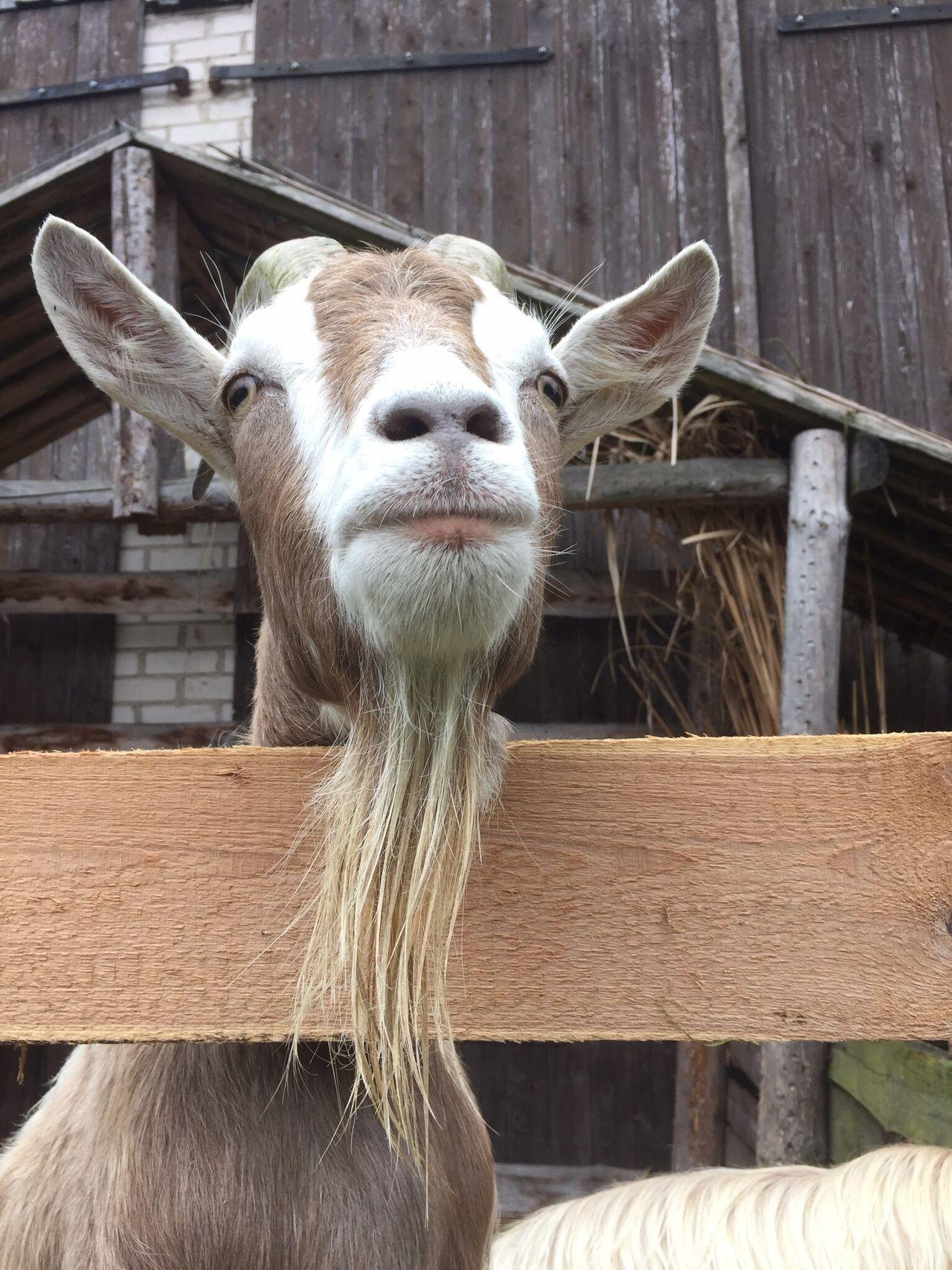 Beautiful stock photos of goat, Animal Hair, Animal Themes, Beard, Built Structure
