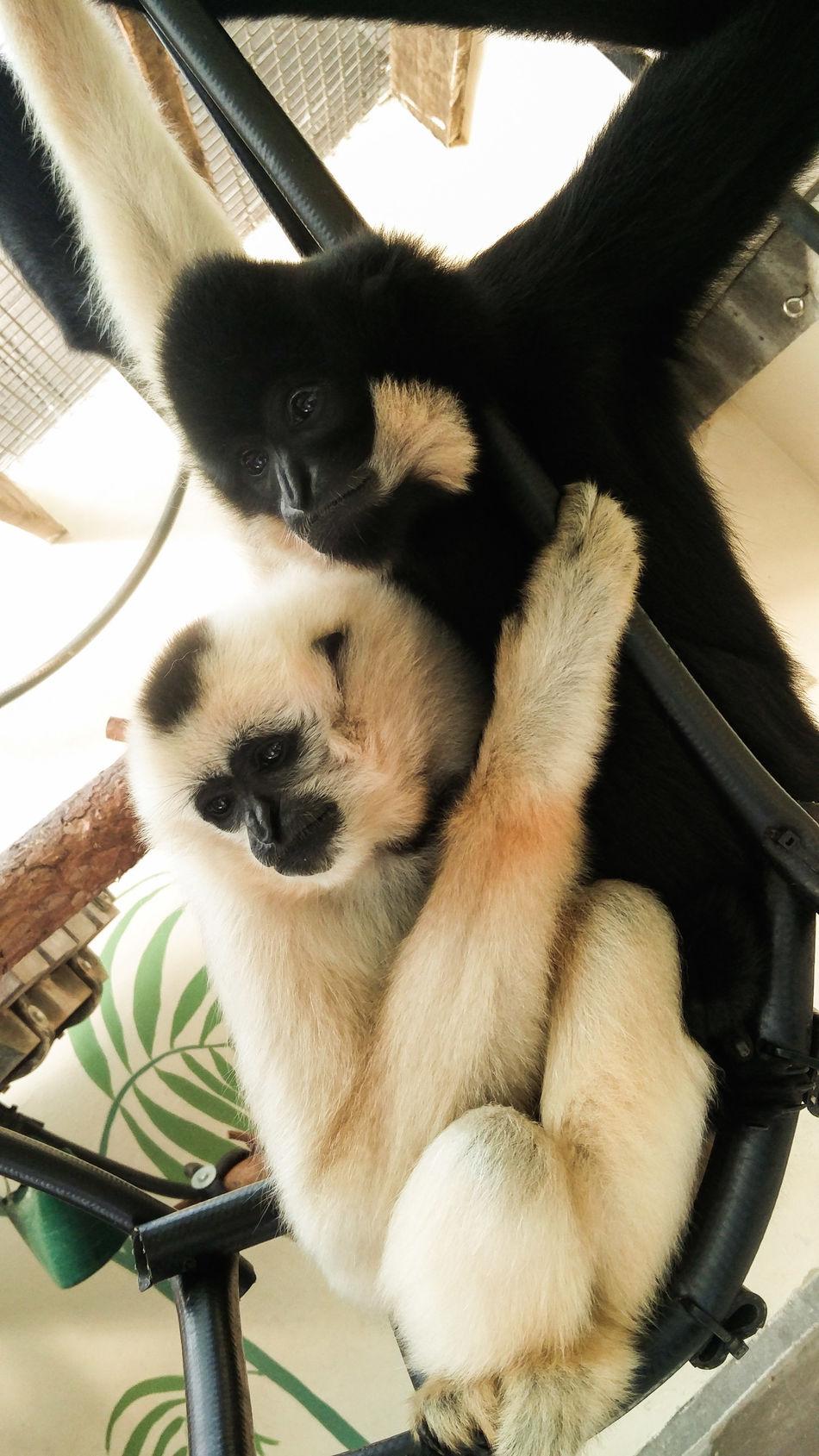 Hugs Animal Mammal No People Animal Themes Day Portrait Indoors  Close-up Monkey Monkeys ConorRouillier Hugs Hugsforeveryone Hugs & Love  Cuddles Cuddle Cuddlebuddies Hanging