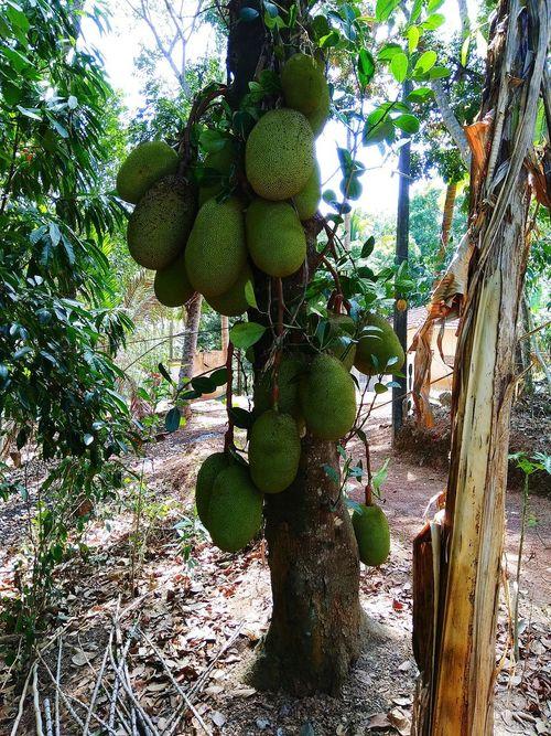 Fruit Tree Green Color Nature Jack Fruit/lanka Jack