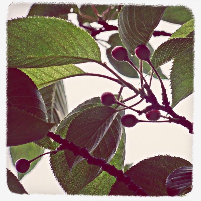 Edible Cherry