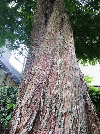 Large Tree Trunk Large Tree Old Tree Large Diameter Tall Check This Out Tall Tree Texture Bark Fibrous Wood