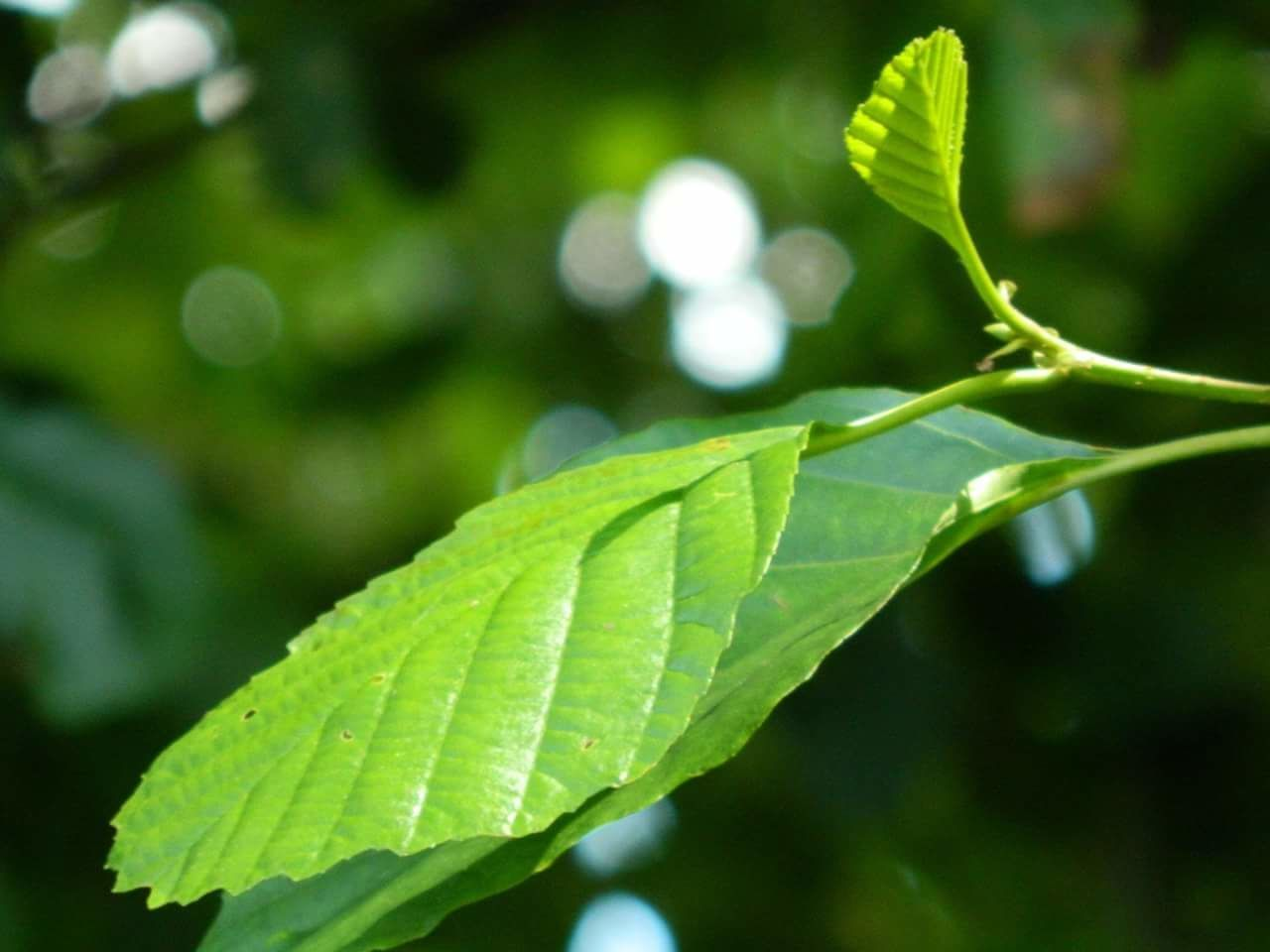 green color, leaf, growth, nature, close-up, focus on foreground, day, plant, freshness, outdoors, beauty in nature, sunlight, no people, tree