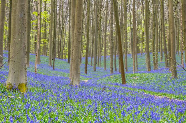 Hallerbos Nature_collection Nature Bluebells Purple Belgium The Great Outdoors With Adobe