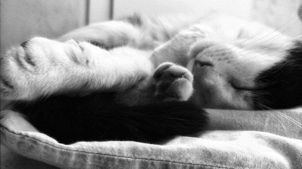Okay Minka in Lying Down Indoors  Domestic Animals One Animal Animal Themes The Portraitist - 2017 EyeEm Awards Eyeemphotography EyeEm Gallery EyeEmbestshots EyeEm Best Shots Domestic Cat Catoftheday Bedroom Cats Of EyeEm Relaxation Eyes Closed  EyeEm Best Shots - Black + White Pets B&W Collective Sleeping Whisker EyeEmBestPics Indoors