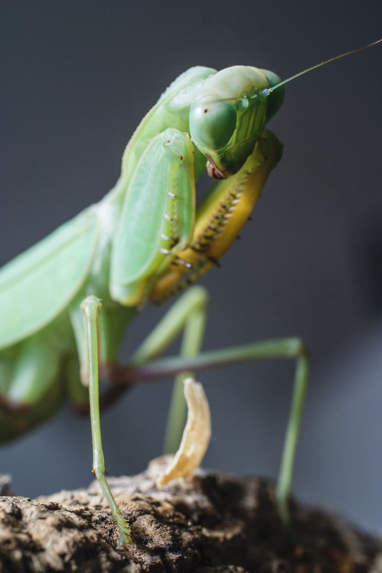 Antenna Close-up Dangerous Beauty Exotic Pets EyeEmNewHere Insect Macro Mating Ritual One Animal One Insect Pet Praying Mantis Preying Mantis Shallow Depth Of Field