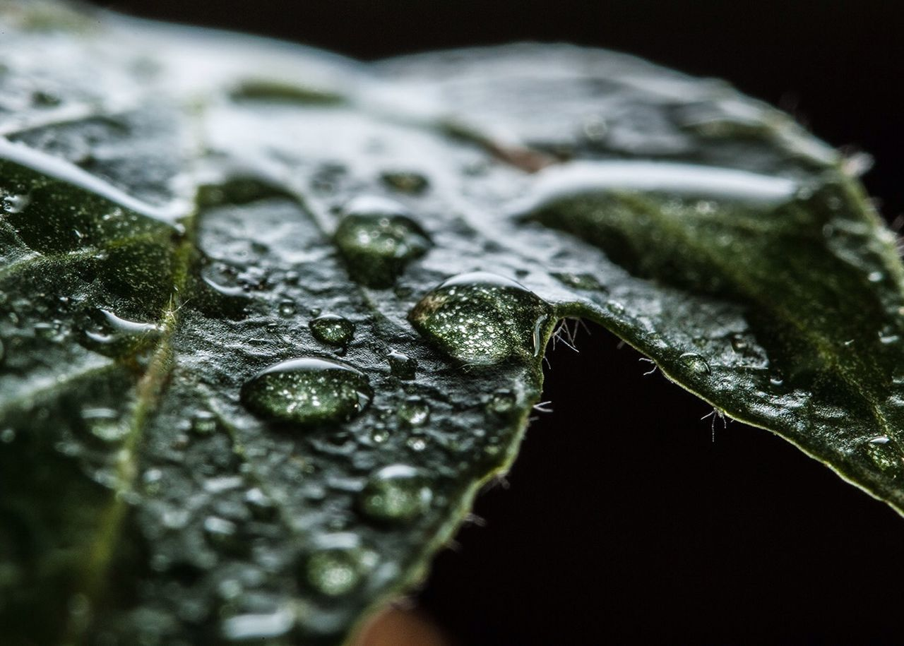 Beautiful stock photos of leaf, Beauty In Nature, Black Background, Close-Up, Day