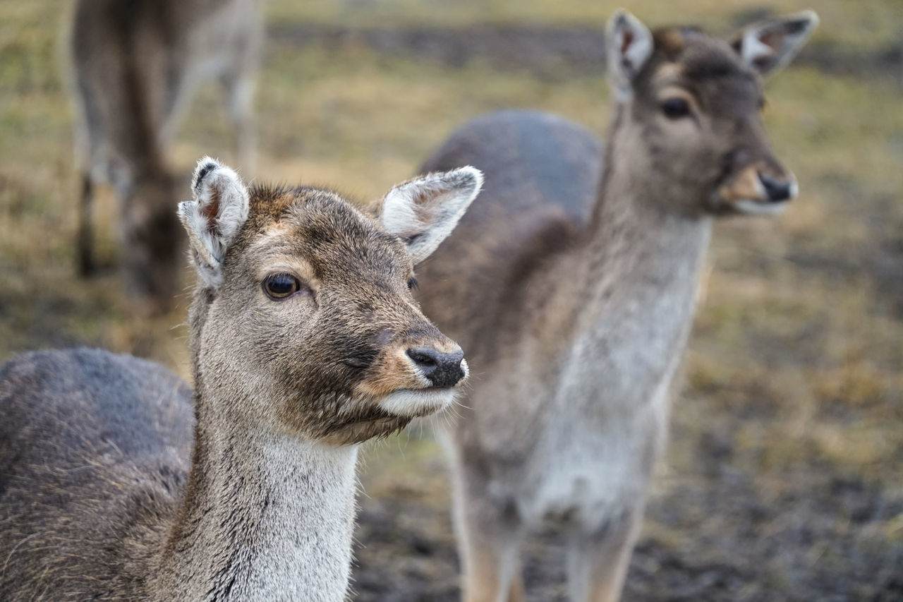 Group of young does / deers / female roes in wild nature - portrait shot in national park. Aminals Band Close Up Daniel Deer Doe Eastern Europe Elk Face Female Forest Fur Group Group Of Animals Lithuania National Park Population Portrait Reserve Roe Deer Roe Deers Roé Wild Wildlife Wildnature