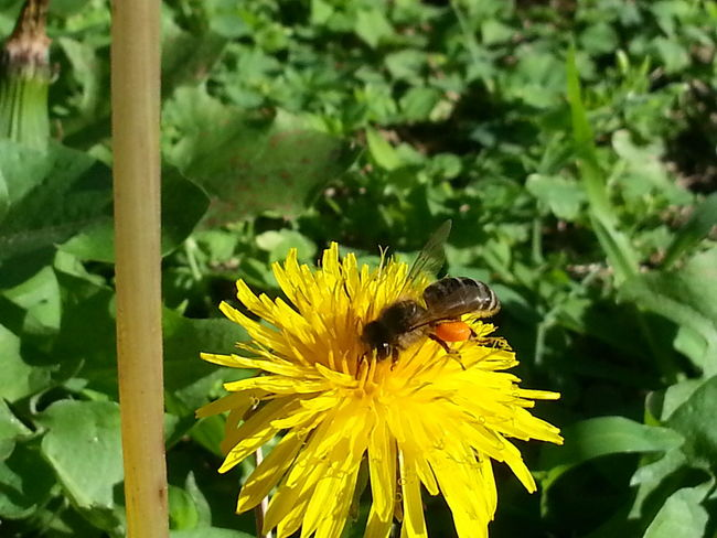 Happy to catch this one while walking around my garden. South Africa Green Nature Yellow Flower Humble-bee Beauty Of Nature Beautiful ♥