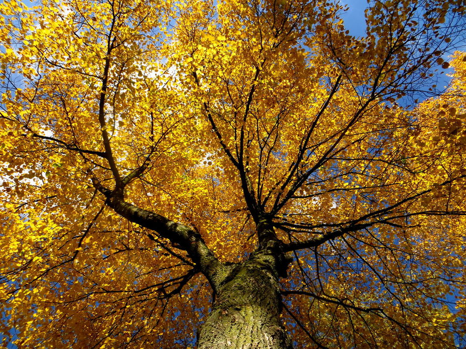 The Three Linden Tree Sisters: scratching the blue sky Autumn Autumn Collection Autumn Colors Autumn🍁🍁🍁 Backgrounds Beauty In Nature Branch Change Close-up Day Fall Fall Beauty Fall Collection Freshness Gold Colored Growth Linden Linden Tree Low Angle View Nature No People Outdoors Sky Tree Yellow