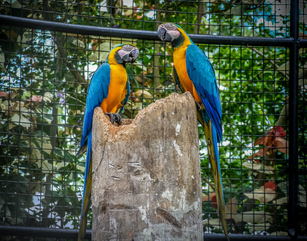 Macaw Macaw Parrot Nature Animals In Captivity Animals In The Wild Trinidad And Tobago Animal Wildlife Outdoors Zoo Zoo Animals  Zoology Cage Trinidad Domestic Animals Zoo Animals  Animal Themes Close-up