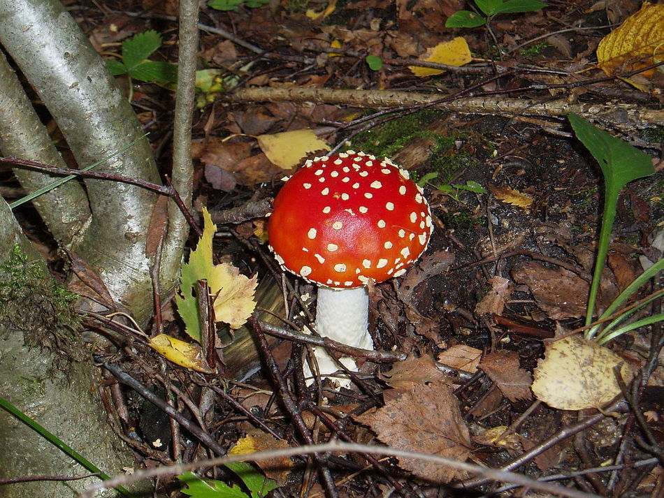 Amanita Caesarea Dangerous Death-cup Fly-agaric Forest Mushrooms Nature Red Color Image High Angle View Toadstool Tranquility Forest Nature Fieldscape