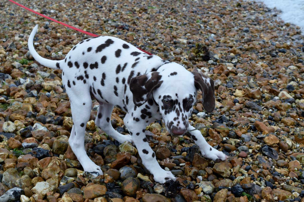 Animal Themes Dalmatian Dog Day Dog Dog On Beach Domestic Animals Mammal No People One Animal Outdoors Pets Spotted