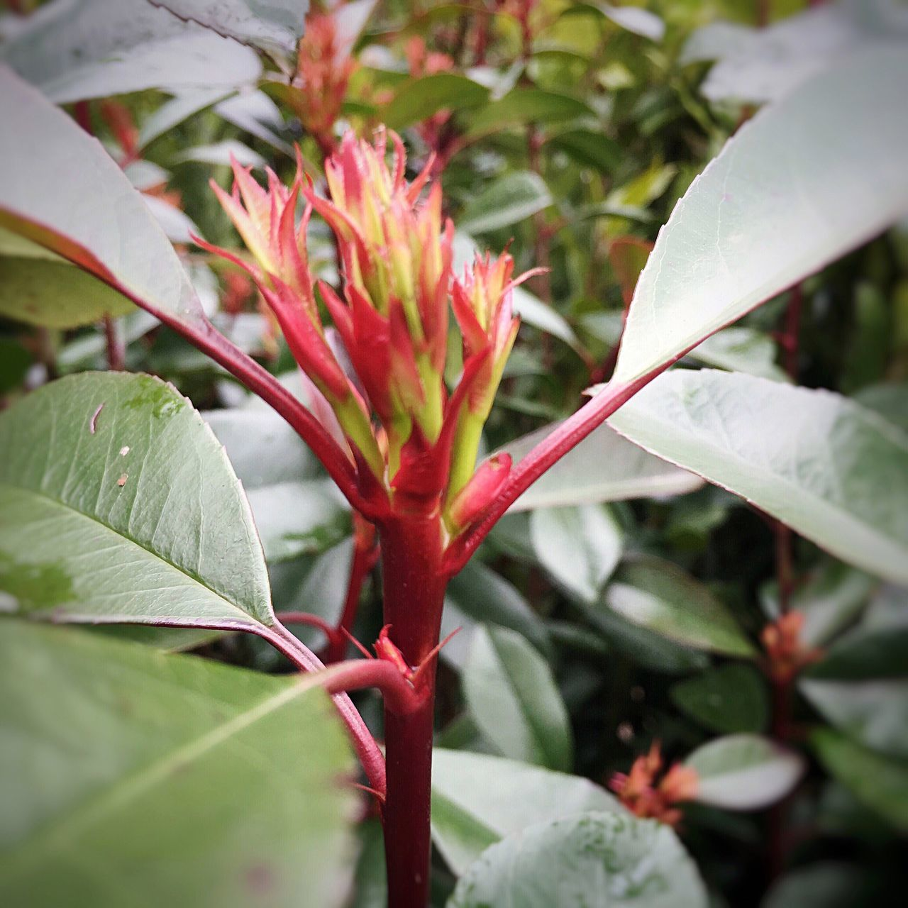 New growth... Spring 2016 Spring Growth Green And Red Leaves Garden Photography Leaves Only Leaves New Leaves