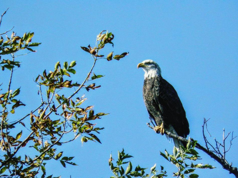 Beautiful stock photos of eagle, Animal Themes, Animal Wildlife, Animals In The Wild, Bald Eagle