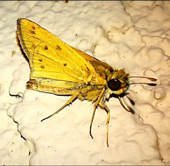 A tiny little Skipper Butterfly hanging out on the wall till daybreak for safety. Smart move.✨ Insect Butterfly Skipper Butterfly Close-up Nature Outdoors Night Photography Insect Photography Insect Theme Beauty In Nature IPhone Photography Insects Beautiful Nature Nightshot