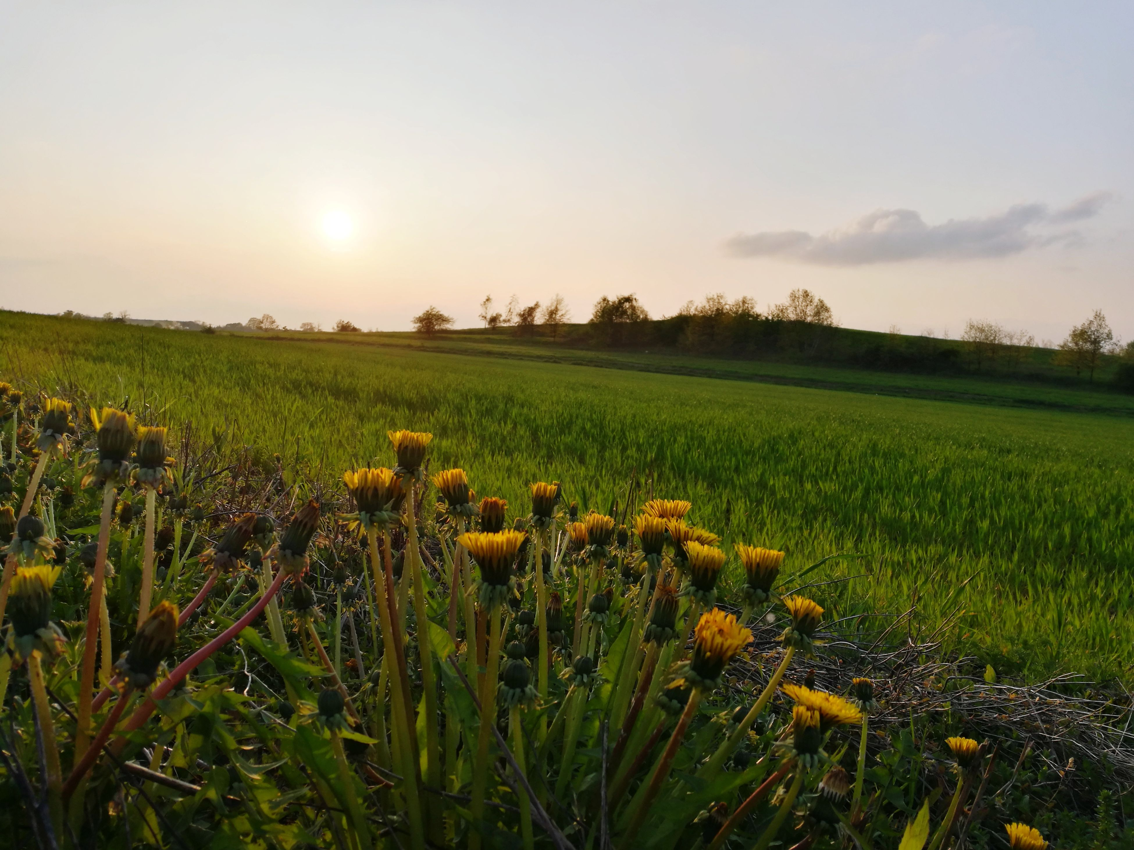 field, growth, nature, sunset, agriculture, beauty in nature, sky, tranquility, landscape, tranquil scene, scenics, rural scene, no people, plant, outdoors, grass, day