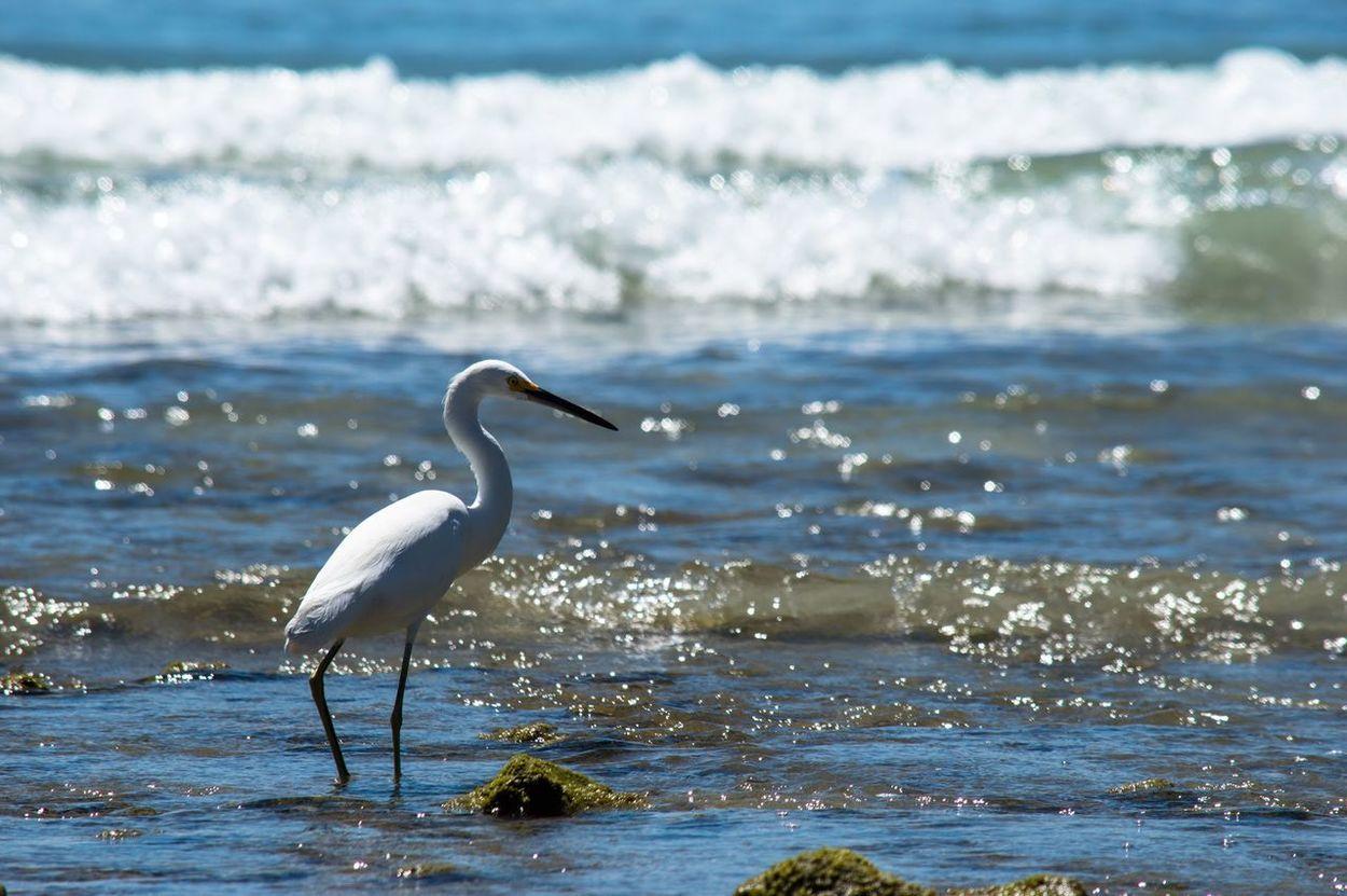 Garzas Sea Mar Nayarit Mexico Playas Y Olas Aves