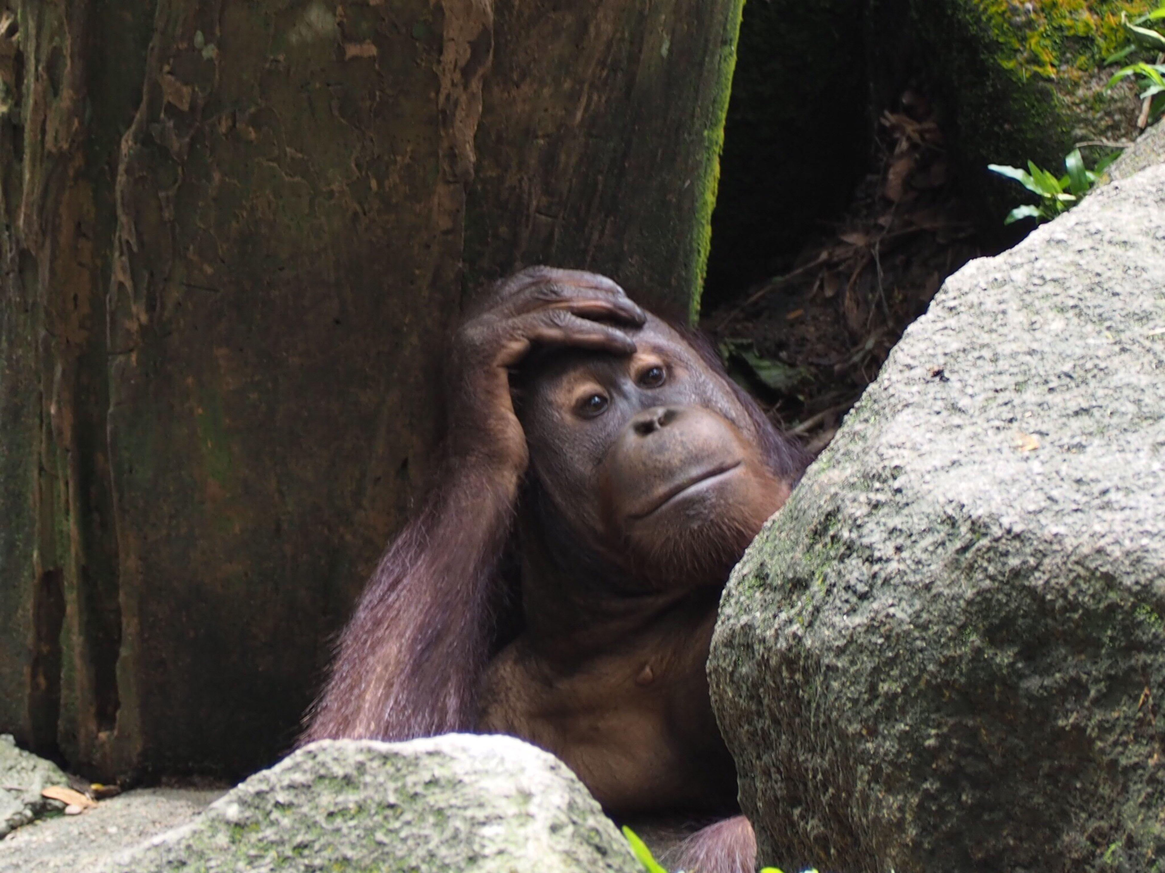 animal themes, animals in the wild, one animal, animal wildlife, no people, orangutan, primate, nature, mammal, outdoors, close-up, day, gorilla, tree, monkey, chimpanzee