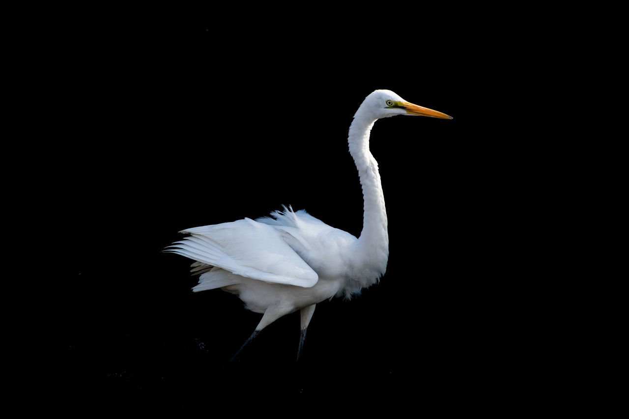 鷺 ダイサギ No People Outdoors Heron Animal Themes Animals In The Wild Bird Beauty In Nature Animal Wildlife Black Background One Animal The Limit Of 200 Mm Lens Perching ペリカン目サギ科