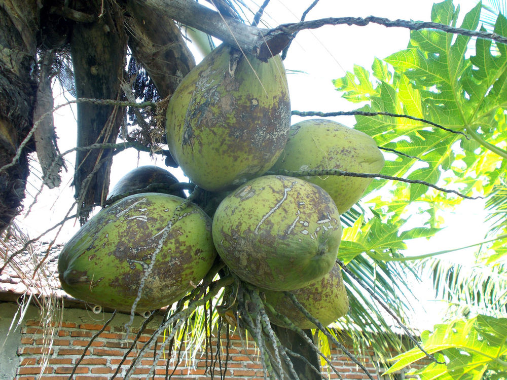 bunch of green coconut on the tree Bunch Of Coconut Cocoanut Coconut Coconut Fruit Coconut Leaf Coconut Tree Cocos Nucifera Day Food Food And Drink Fruit Green Coconut Green Color Healthy Eating Healthy Food Healthy Fruit Isotonic Leaf Low Angle View Nature No People Outdoors Tree Tropical Fruit Vitamin