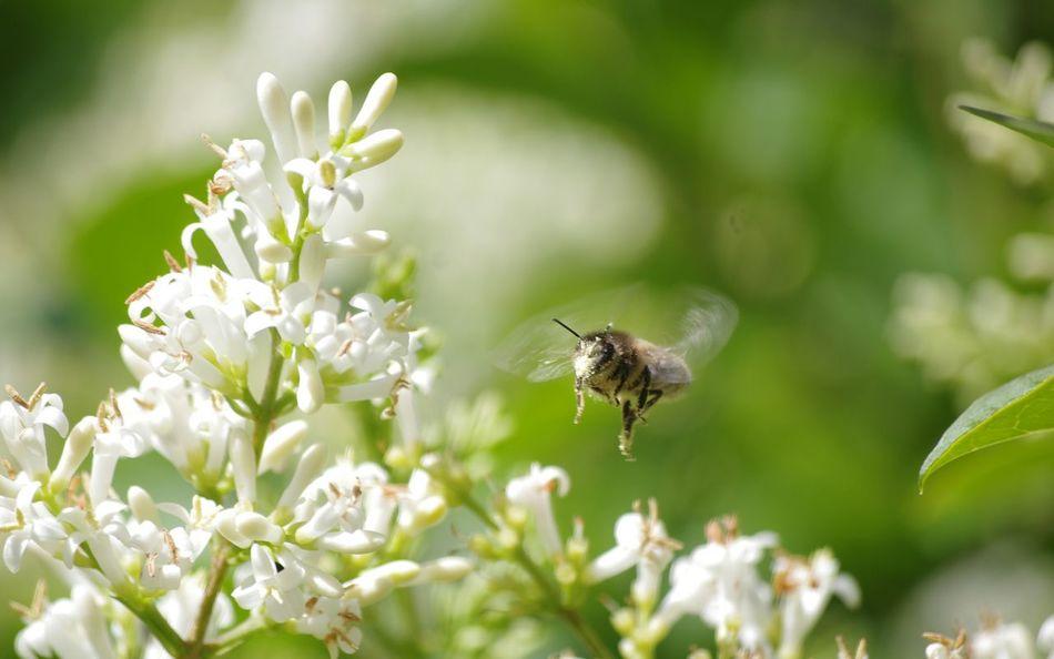 Nature On Your Doorstep Nature Flowers Hony Bee Covered In Pollen Action Shot  Working In My Garden Privet Privet Flowers Relaxing Taking Photos Summer Memories 🌄 Freind Of The World Hardworking Bee