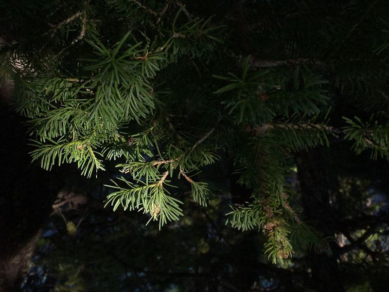 Grand Tetons National Park Pine Tree Tree Green Color Branch Close-up Beauty In Nature Spruce Tree Light