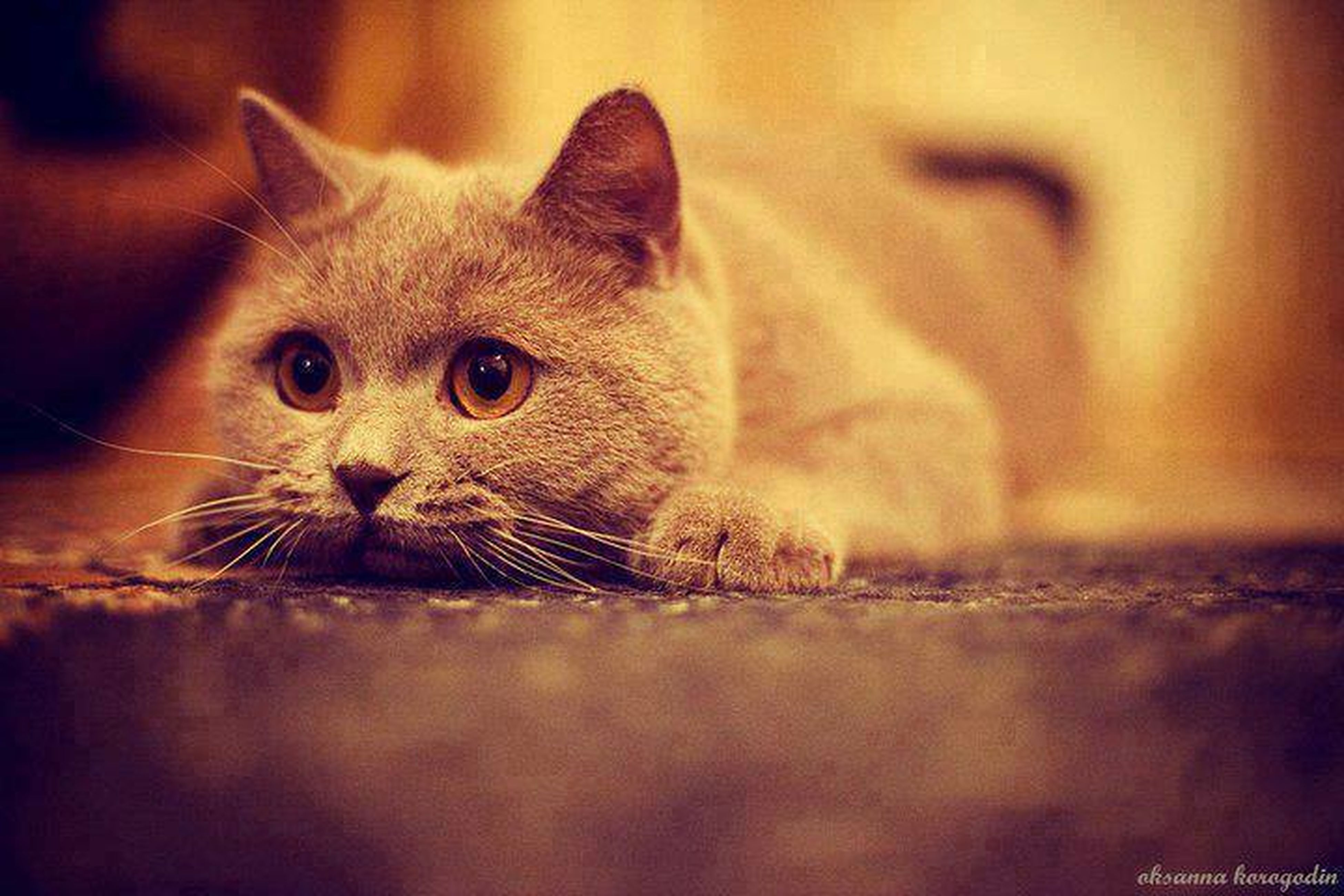 animal themes, one animal, domestic cat, pets, cat, domestic animals, mammal, feline, portrait, indoors, looking at camera, whisker, focus on foreground, selective focus, close-up, staring, alertness, animal head, sitting