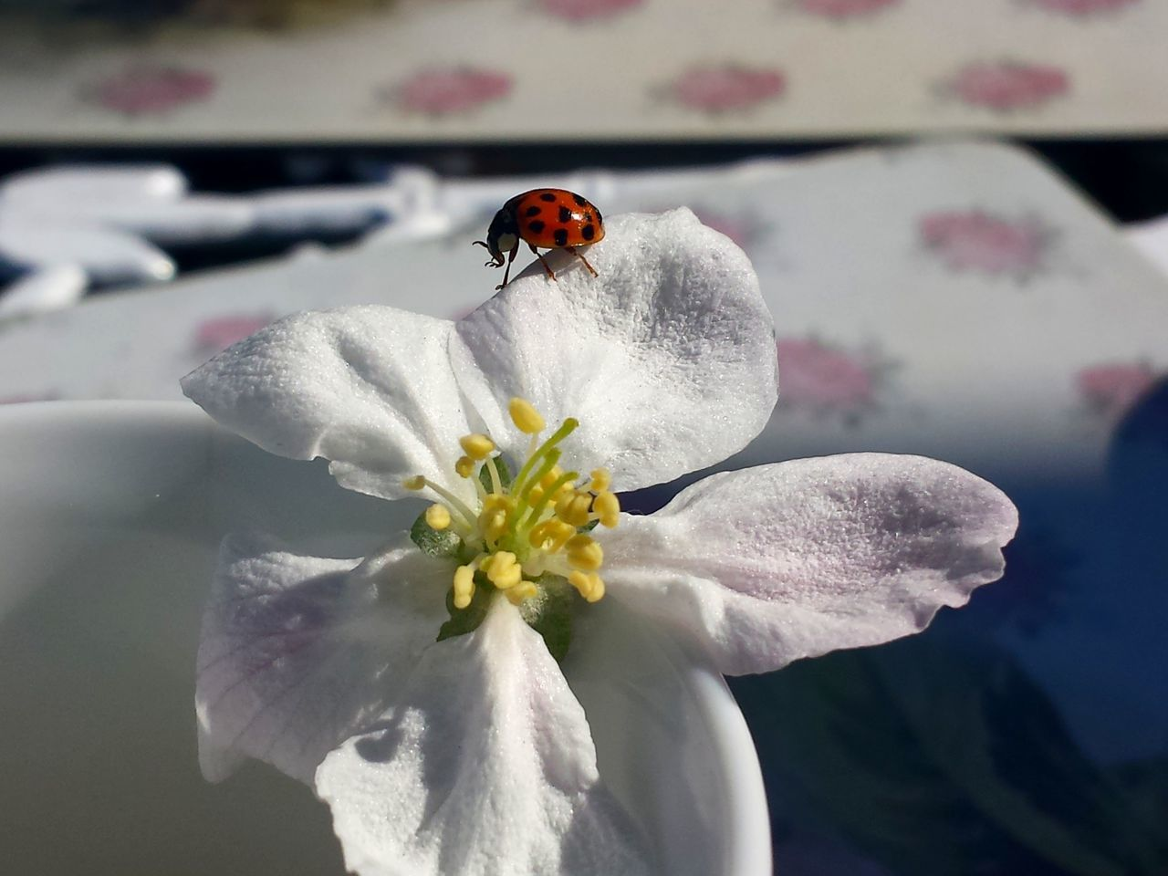 flower, petal, one animal, nature, fragility, beauty in nature, flower head, animal themes, animals in the wild, white color, insect, day, close-up, no people, outdoors, freshness, growth, plant, animal wildlife, ladybug, blooming, water
