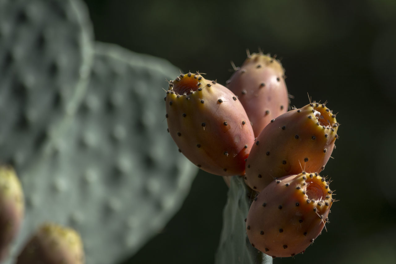 cactus, prickly pear cactus, thorn, growth, close-up, focus on foreground, spiked, no people, nature, plant, day, risk, beauty in nature, outdoors, freshness, food, fragility, flower head