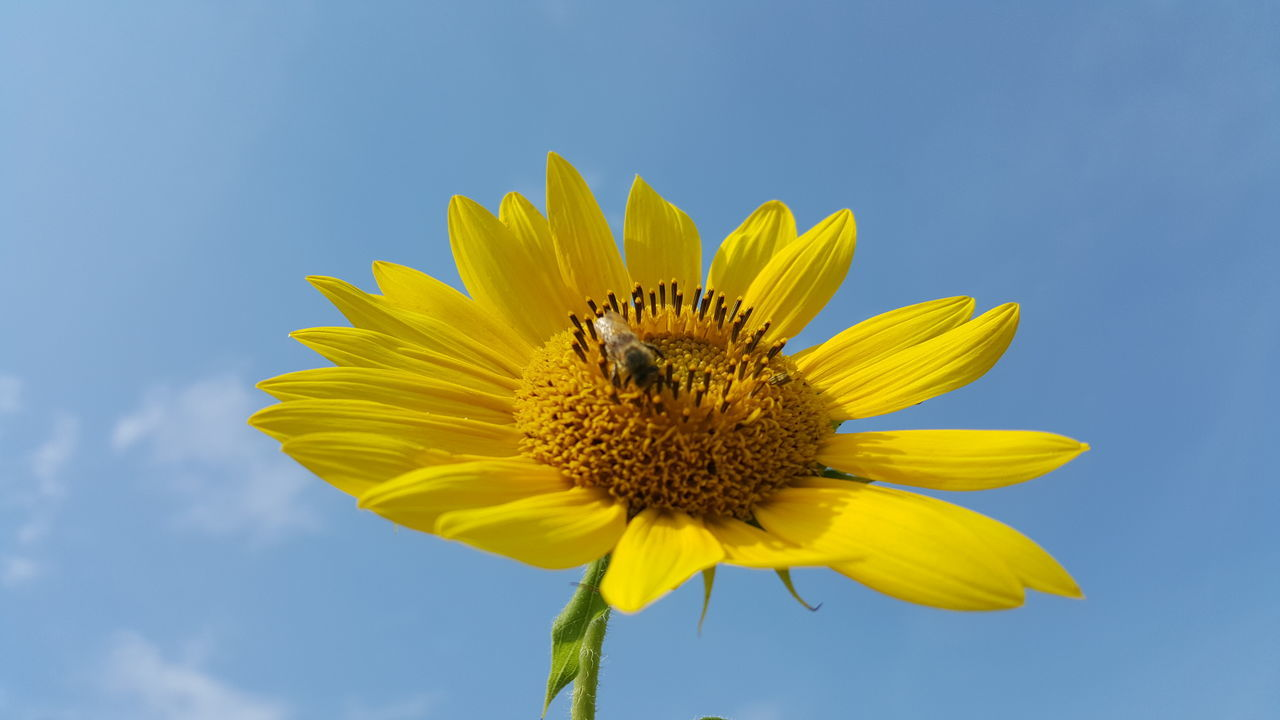 Low Angle View Of Bee On Sunflower Against Sky During Sunny Day