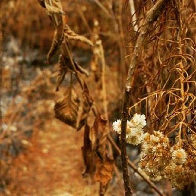 Bunga Edelweiss diantara sisa Kebakaran Lahan di Gunung Argopuro Jawatimur