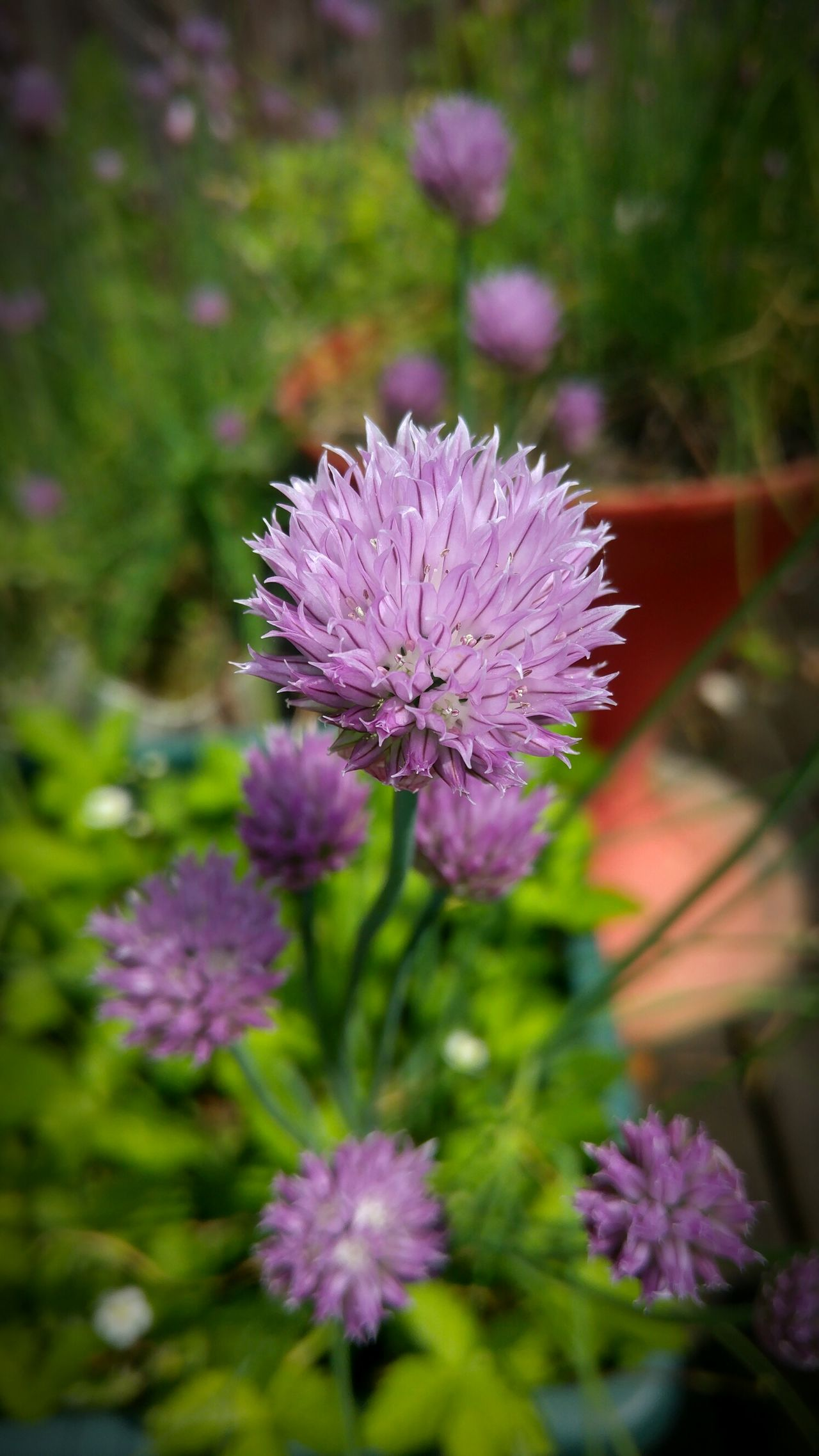 Schnittlauch Schnittlauch Blüte Chives Chiveflower Chiveeverywhere Chive Flower Chive Blossom Kräuter Kraeuter Kraeutergarten Herb Herbs Herb Garden Essbare Blüten🌾 Edible Flowers Edible Plants Edibleflowers Ediblegarden Blüte Blüten Plants Plants And Flowers