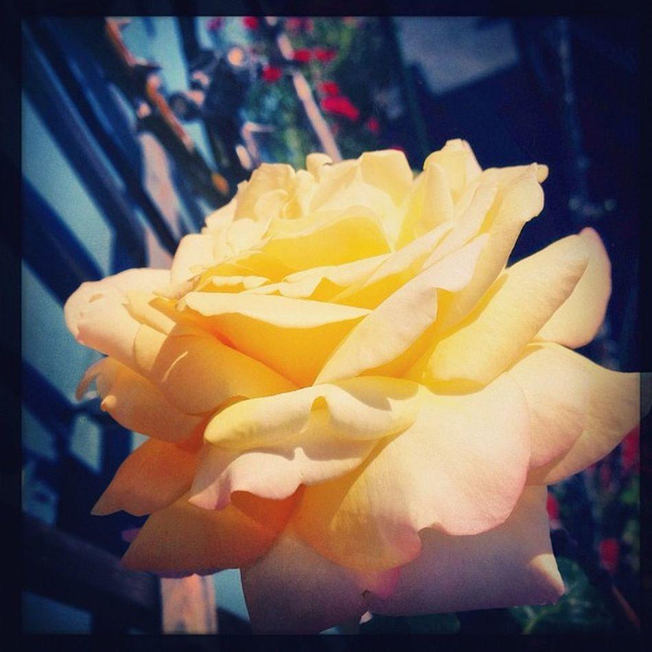 Ig Igers Igaddict Ignation instapic instagood instalove instaddict instanature flower rose nature hipsta love picoftheday summer wildflower