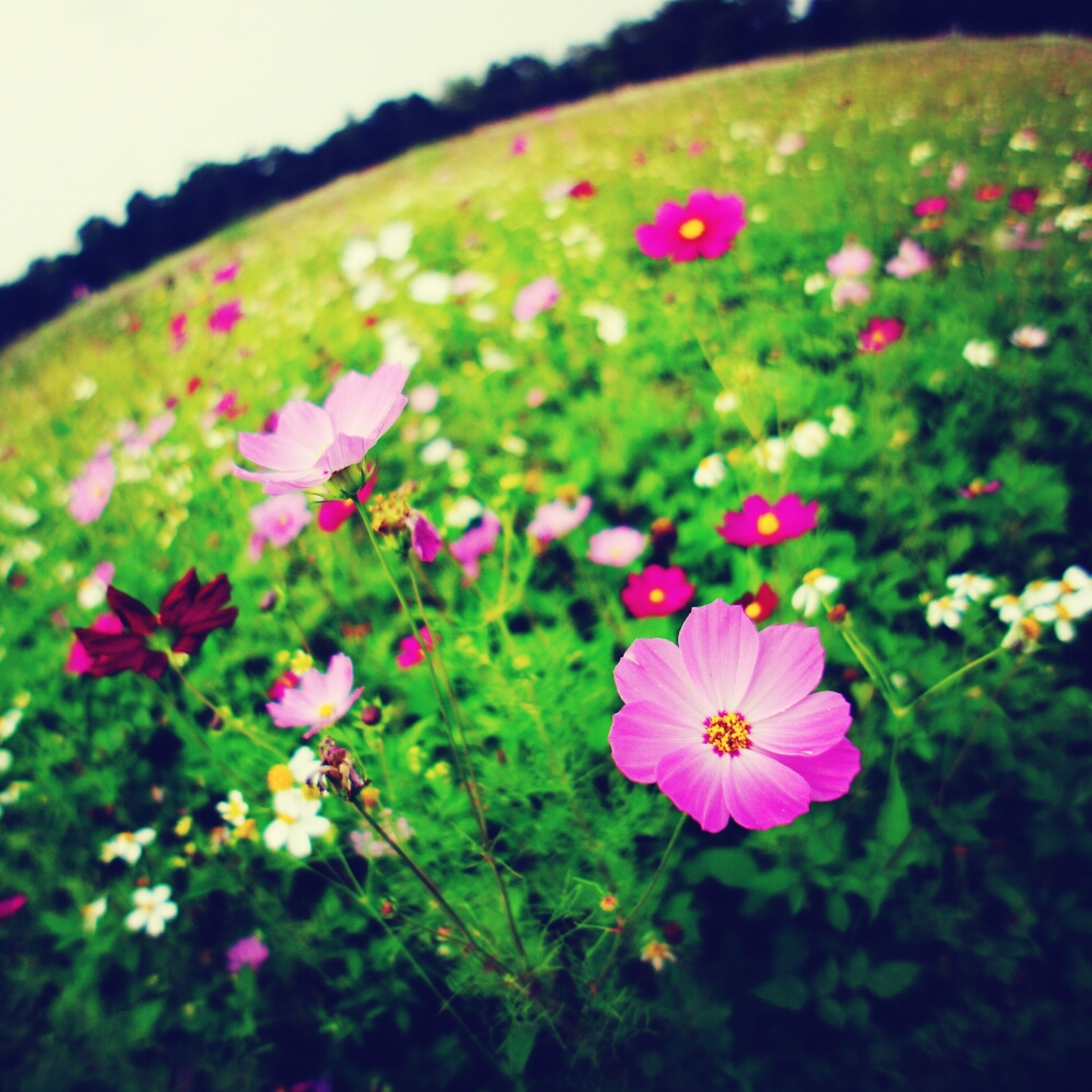 flower, freshness, fragility, petal, growth, pink color, beauty in nature, flower head, blooming, nature, field, plant, focus on foreground, in bloom, close-up, day, blossom, springtime, green color, outdoors