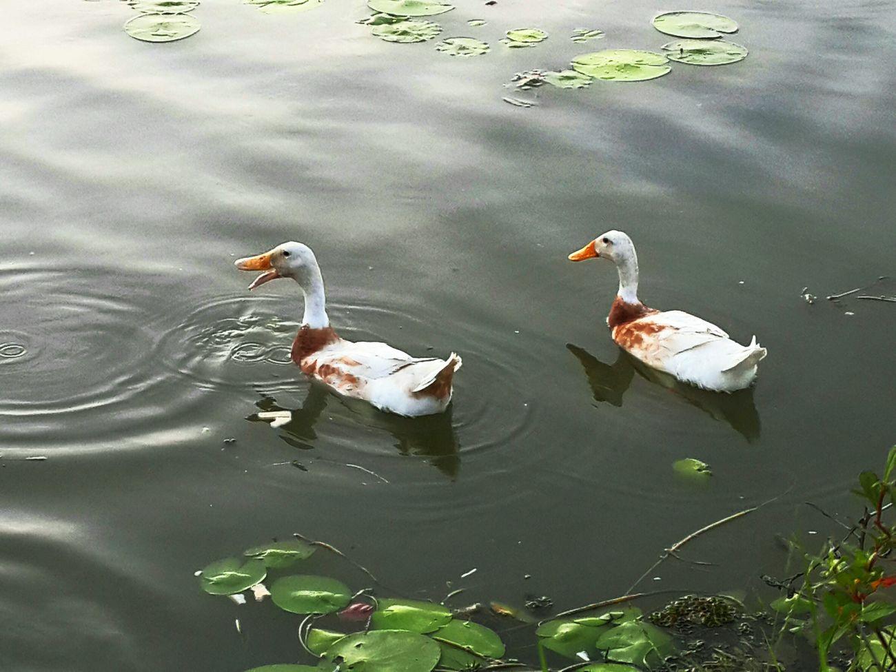 Feeling Free Ducks Relaxing Lake View gua gua gua....